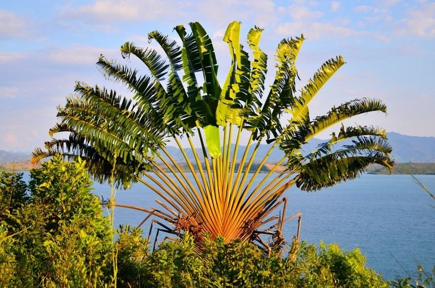 Tamatave-Nature cultures endemic to the ravinala region